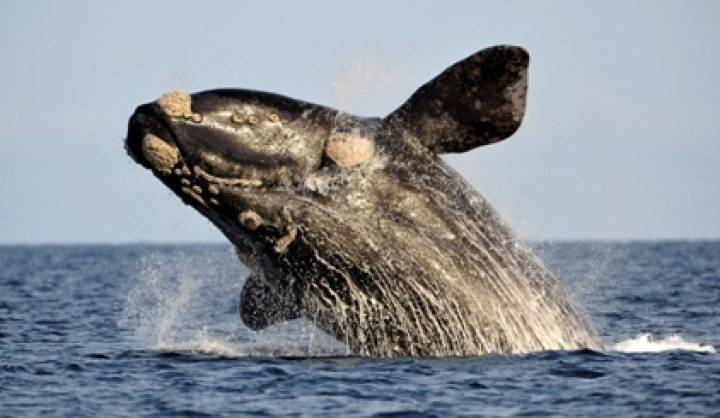 46::The death of Right Whales in Argentina